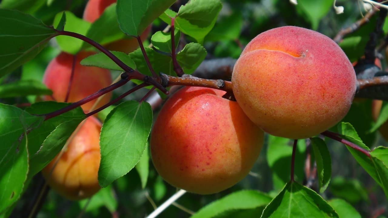 купить саженцы абрикосы подмосковье