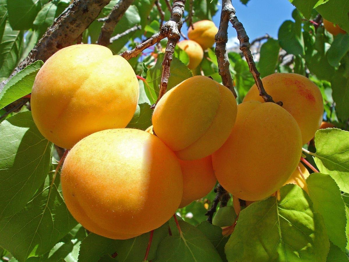 абрикос саженцы купить