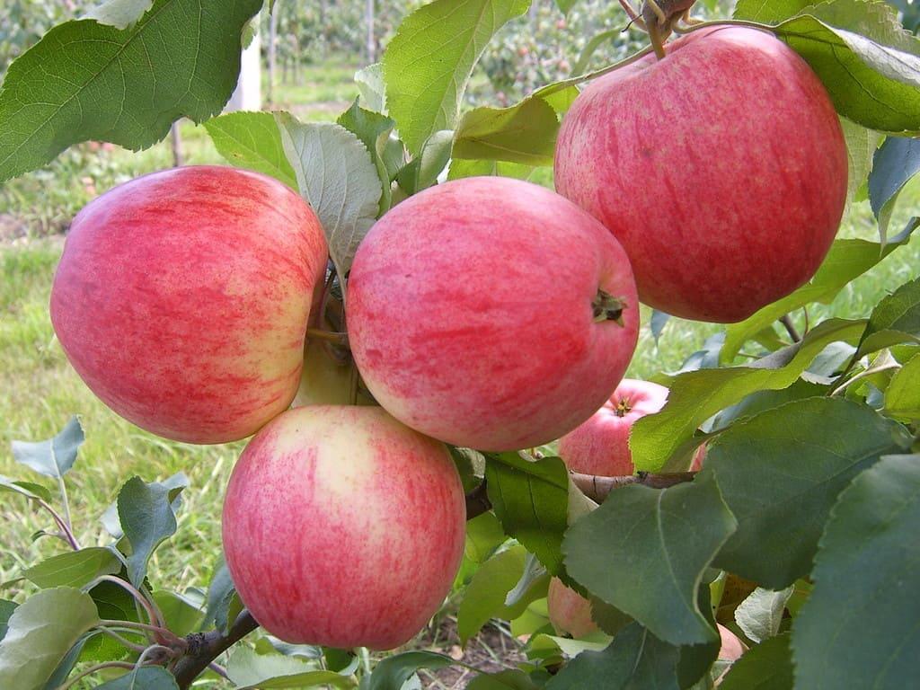 Купить саженцы яблони