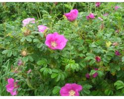 Морщинистые розы
