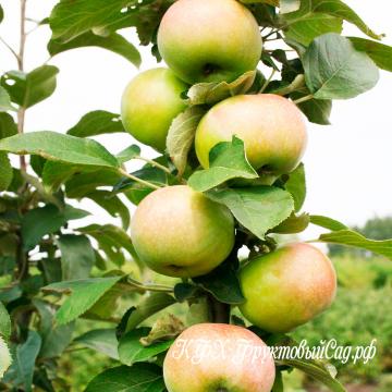 Яблоня Телеймон (колоновидный сорт)