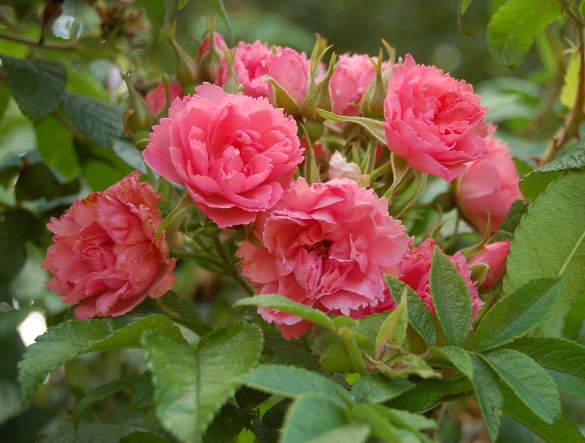 нею морщинистые розы фото наиболее