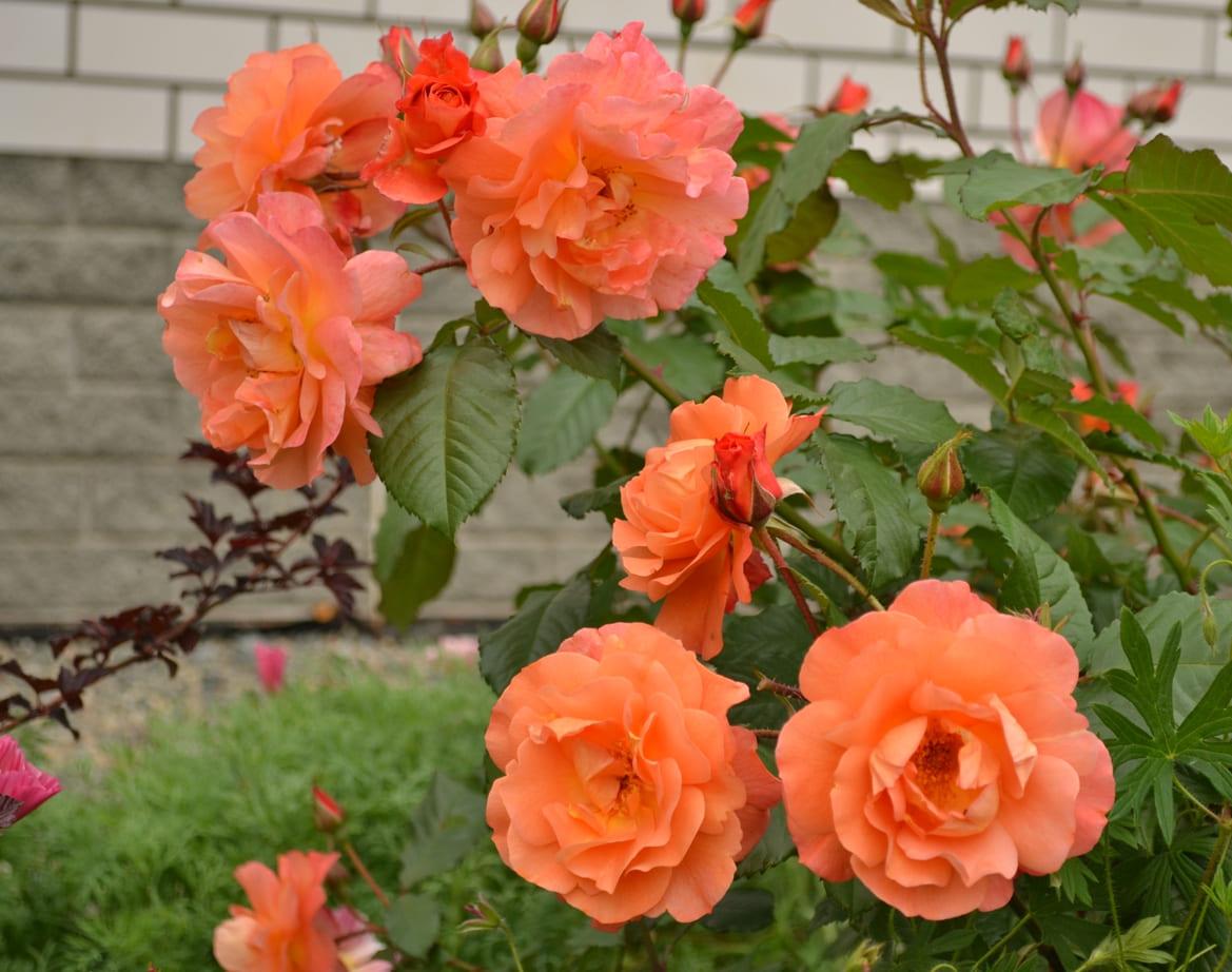 сша негры роза парковая вестерленд фото описание для
