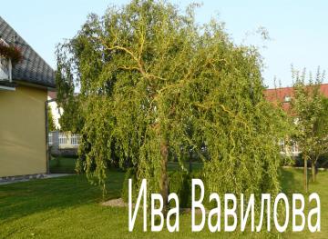 Ива Вавилова