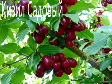 Кизил Садовый