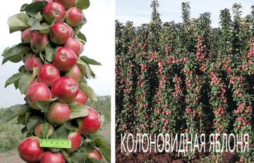 Колоновидная яблоня