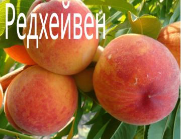 Персик Редхейвен