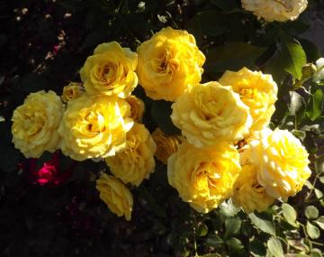 Роза Голден Беби