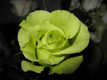 Роза Амадина