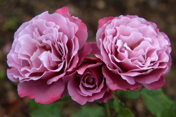 Роза Аметиста