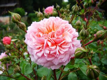 Роза Анна