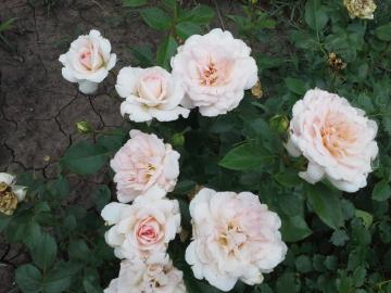 Роза Артуро Тосканини