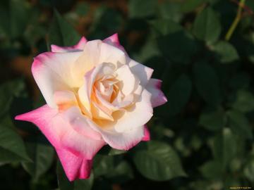 Роза Белла перла