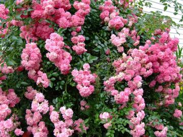 Роза Дороти Перкинс