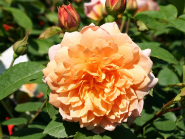 Роза Кампанелла