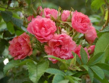 Роза Морщинистая красная