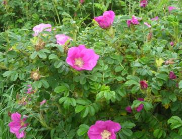 Роза Морщинистая розовая