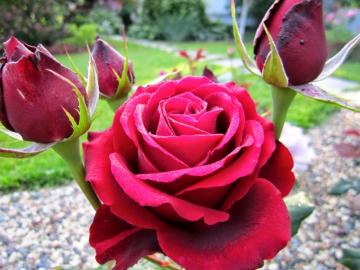 Роза Норита
