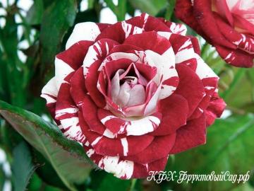 Роза Пестрая фантазия