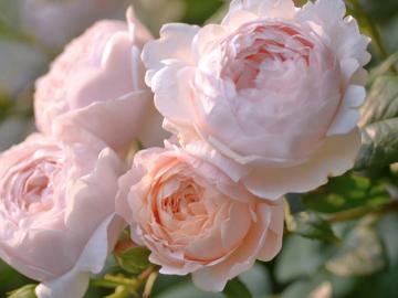 Роза Пионная розовая