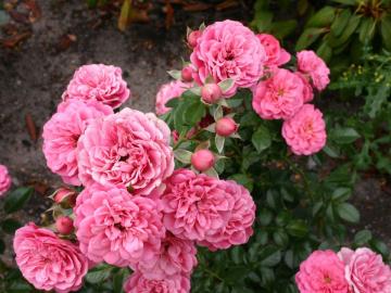 Роза Розовая Бордюр