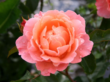 Роза Розовая легенда