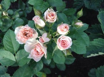 Роза Розовая Лидия