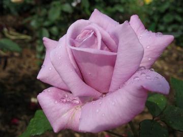 Роза Сиреневая