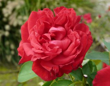 Роза София