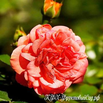 Роза Светло-красная