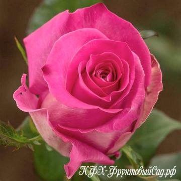 rosa-topaz