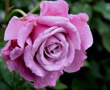 Роза Виолет