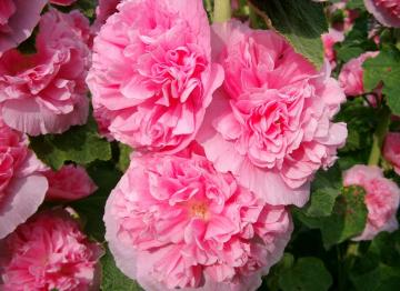 Роза Яблоневый цвет