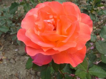 Роза Желтый тайфун