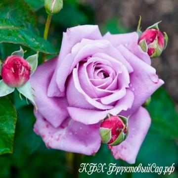 Роза Зи-Си