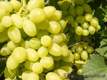 Виноград Долгожданный скороспелый