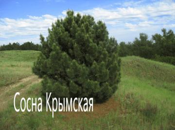 Сосна крымская