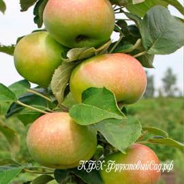 Янтарное ожерелье (Т-3) колоновидная яблоня