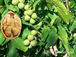 Грецкий орех Трофей