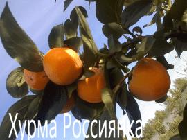 Хурма Россиянка