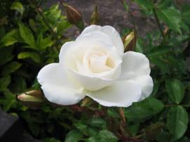 Роза Белая Глетчер