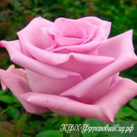 Роза Блюберд