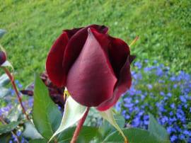 Роза Черная магия