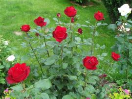 Роза Гран Гала