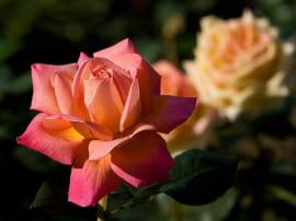 Роза Кинг Конг