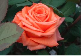 Роза Лолипоп