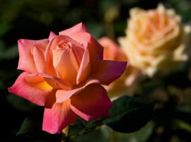 Роза Милагрос