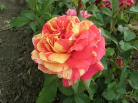 Роза Оранж энд лемон