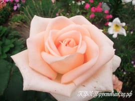Роза Осиана