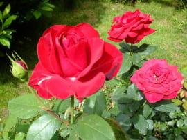 Роза Ред Буллз